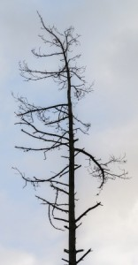 What Causes a tree to die?